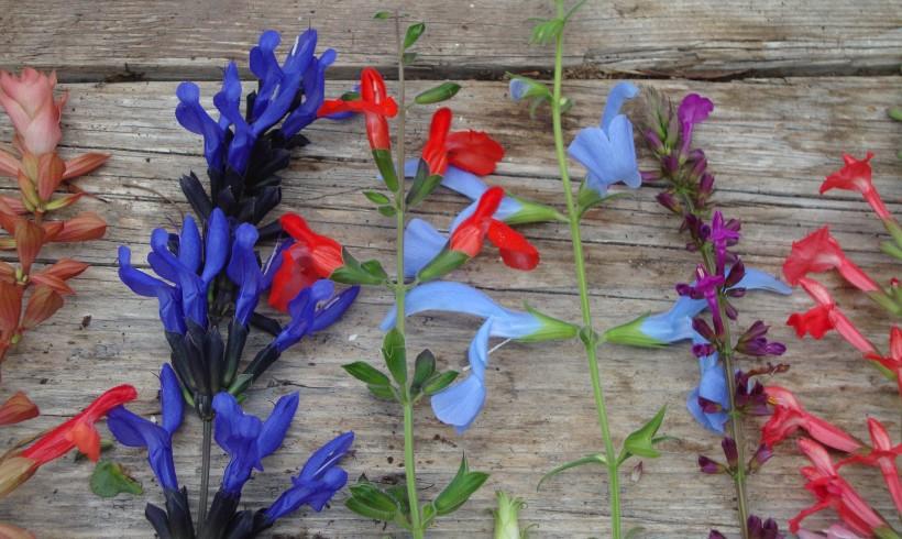 Gratis Salvia zaden bij uw bestelling als u Groei&Bloei lid bent!