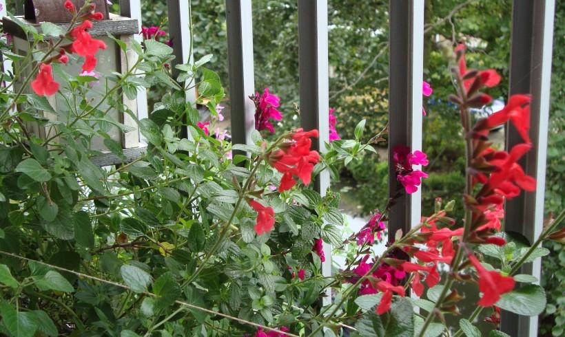 Half september; de Salvia's knallen!