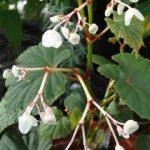 Begonia grandis Evansiana 'Alba'