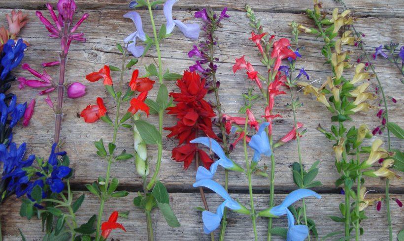 Salvia zaden….zaden van Lepechinia, Galvezia…etc. kunnen geoogst worden momenteel.