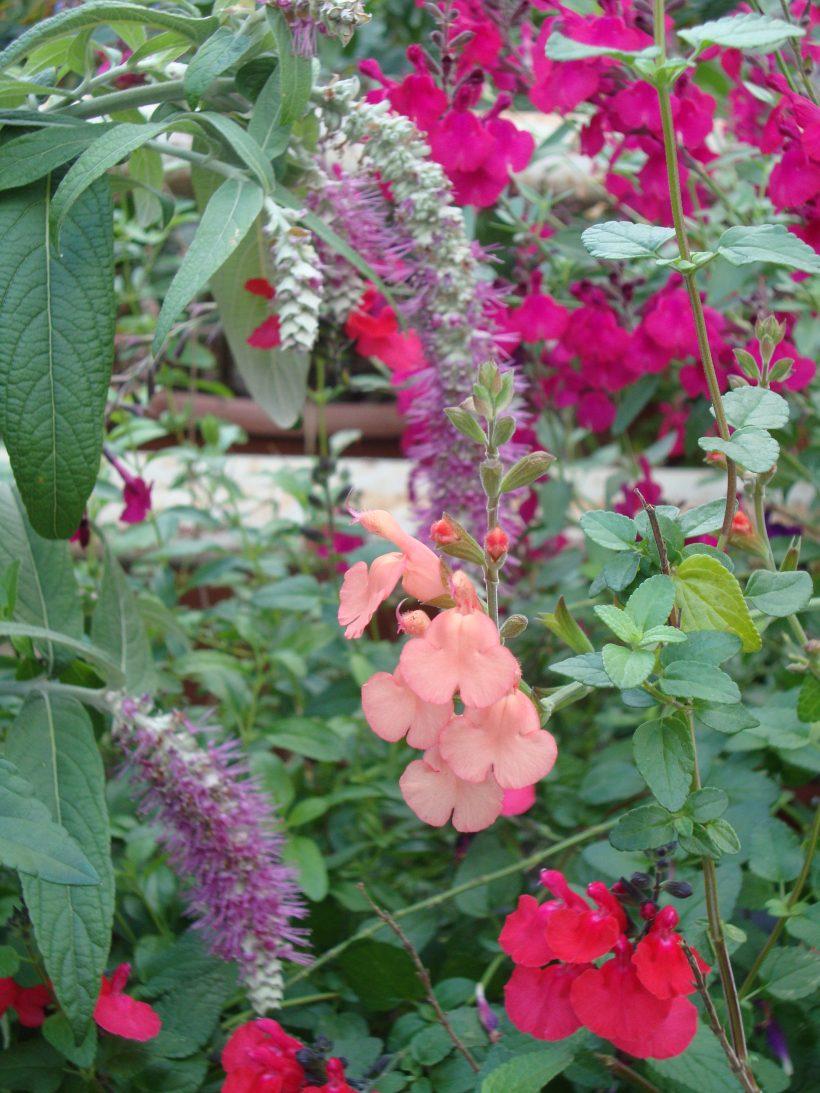 Salvia bloei in de kas in oktober!!!