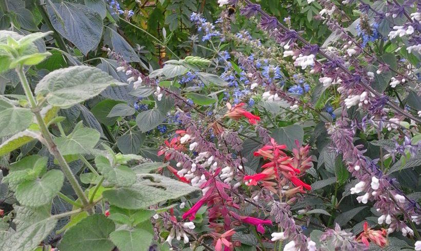 Mijn Salvia tuin in november…ongelofelijk wat een bloei!