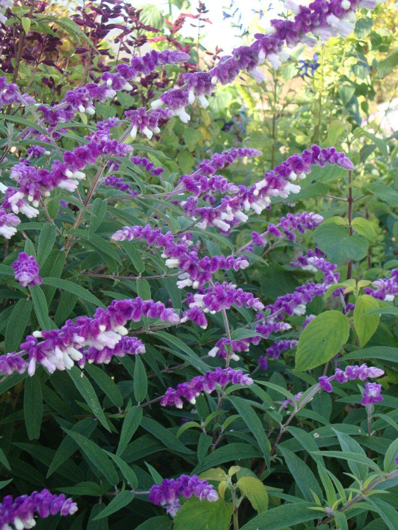 Sunsister Salvia dagen incl.bezoek 4 Salvia tuinen, 17-18-en 19 september 2020