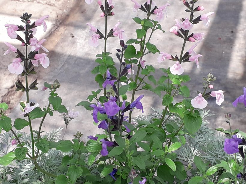 Salvia's in bloei! ( 17 juni 2019)