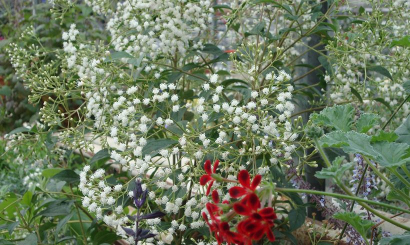 Eupatorium ligustrinum of Ageratina ligustrina
